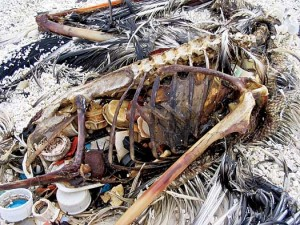 Dead Albatross chick that attempted to digest plastic