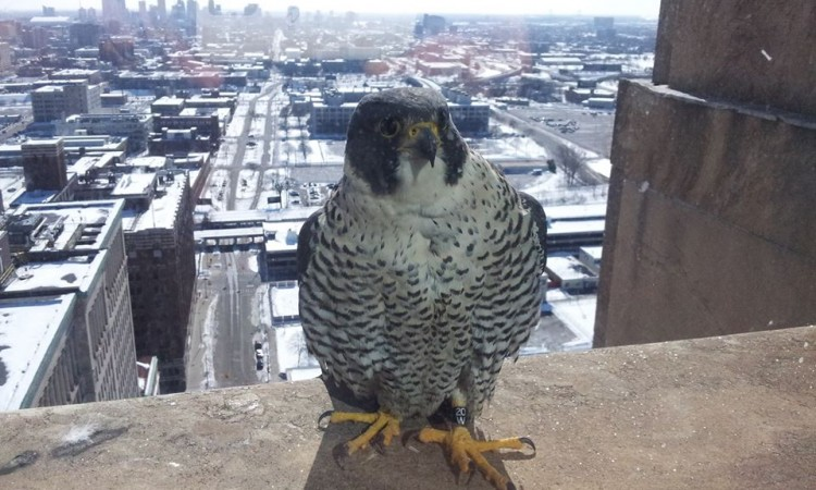 Peregrine Falcon outside the Fisher Building