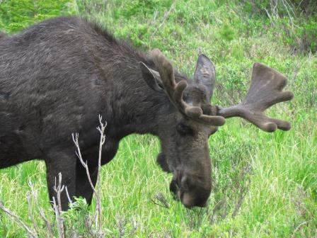 Bull moose Rocky Mountain National Park Trail Ridge Road Colorado