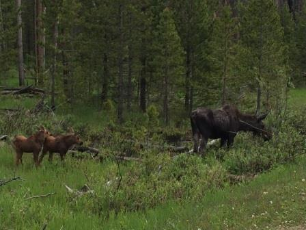mom and two baby moose rocky mountain national park near grand lake