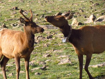 Tagged deer, Trail Ridge Road, Rocky Mountain National Park Colorado