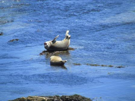Seals, Point Arena, Northern California