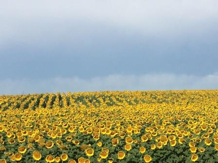 sunflowers pine ridge american indian reservation south dakota